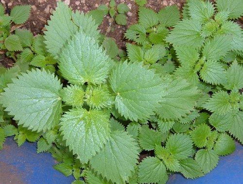 Manuale dell orto usare l ortica coltivare l 39 orto in for Cucinare ortica