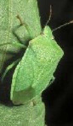 Combattere le cimici nell orto coltivare l 39 orto abc for Cimice insetto