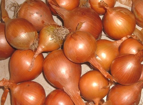 raccolta delle cipolle ramate coltivare l 39 orto abc