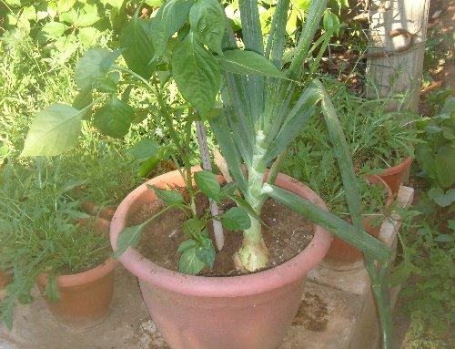 Raccolta delle cipolle ramate coltivare l 39 orto abc for Coltivare cipolle